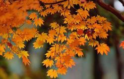 枫树的叶子像什么3篇