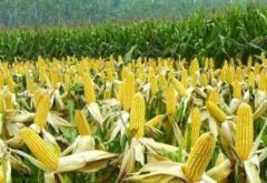 玉米购销合同范本 玉米制种合同范本